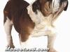 bulldog 06.jpg