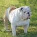 bulldog 08.jpg
