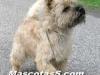 cairn terrier 06.jpg