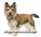 cairn terrier 07.jpg
