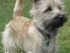 cairn terrier 09.jpg
