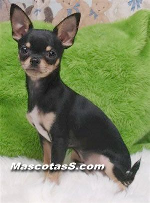 thumbs chihuahua 05 Raza Perro Chihuahua