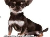 chihuahua 01.jpg