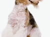 fox terrier 04.jpg