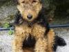 fox terrier 06.jpg