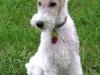 fox terrier 09.jpg