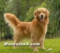 golden retrievers 02.jpg