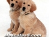 golden retrievers 03.jpg
