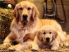 golden retrievers 04.jpg
