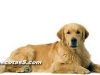golden retrievers 05.jpg