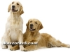 golden retrievers 07.jpg