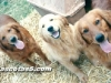 golden retrievers 08.jpg