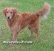 golden retrievers 09.jpg