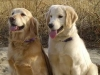 golden retrievers 10.jpg