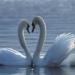th_1177362583_swans7