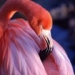 th_1192146881_flamingo