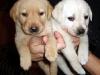 thumbs labrador Como educar a tus perros