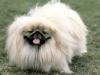thumbs pekines Como educar a tus perros