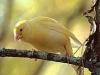thumbs canario Como es el comportamiento de los canarios