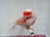 thumbs macho reproductor Como es el comportamiento de los canarios