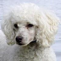 Raza de Perro Fresh Poodle o Caniche.
