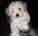 miniatura-poodle