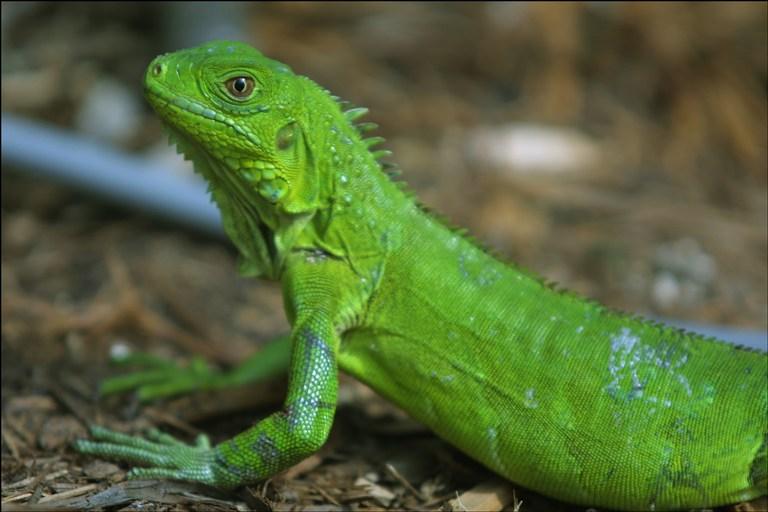 Diferencias físicas en iguanas hembras: