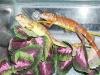 red_iguana