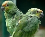 fotos-loros-verdes_0