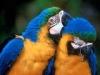 loros-azules-amarillos