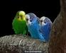 thumbs 11711241281 Como cuidar los Pericos Australianos