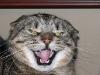 gato-rabioso