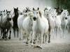 thumbs manada de caballos La visiòn de los Caballos