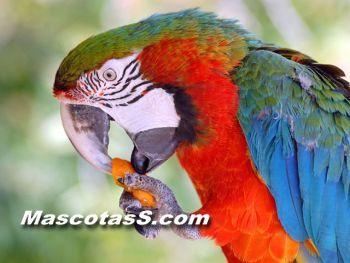 aves 002 ¿Como alimentar a tu loro?