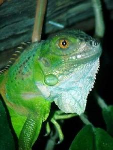 iguana 225x300 Quemaduras y parasitos en las Iguanas