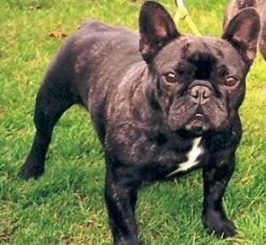 Raza de perro, Bulldog Francés