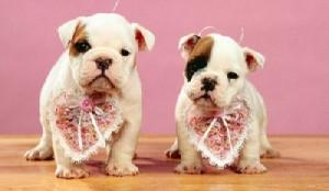 Los problemas cardíacos en perros pequeños