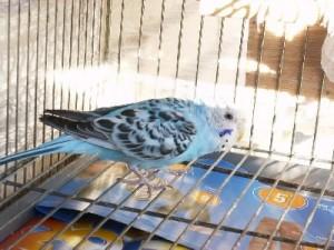 jaula 1 300x225 Como cuidar los pájaros de jaula
