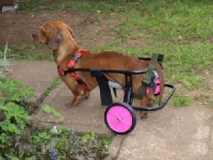 ortopedico para perros 300x225 Carro ortopédico para perros
