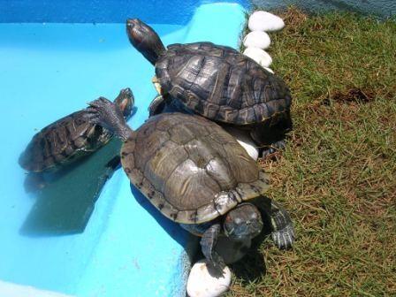 Cuidados que se deben tener con la tortugas de agua for Acuario tortugas