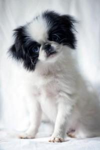 CHIN JAPONES 4 200x300 Fotos del perro Chin japonés
