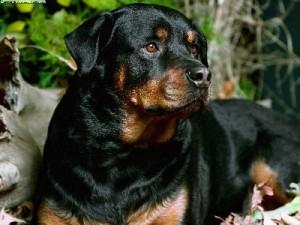 Conozca mas al Rottweiler