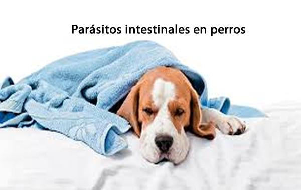 Parásitos intestinales en perros y su tratamiento