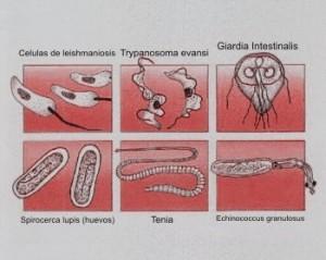 Como darnos cuenta si nuestro perro tiene parasitos intestinales
