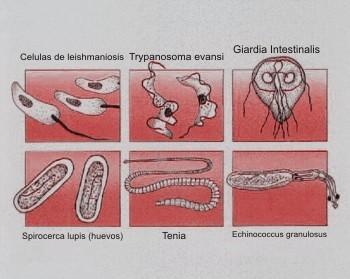 tipos de parasitos intestinales en perros