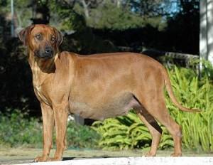 perra embarazada 300x232 Que es la falsa preñez en las perras