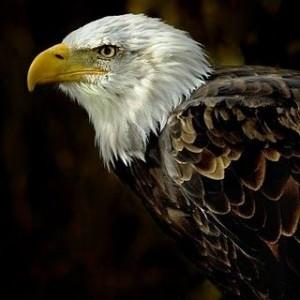 AGUILA CABEZA BLANCA 300x300 Hermosa galeria de aves