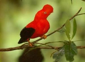 GALLITO DE LAS ROCAS 300x220 Hermosa galeria de aves