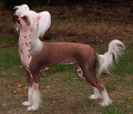 Salud del perro Crestado Chino