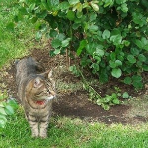 Porque los gatos escarban en los jardines o materas
